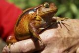 Tomato Frog