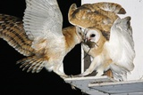 Barn Owls Feeding on a Rat