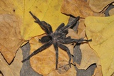 Chaetopelma Olivaceum