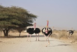 Ostriches In a Nature Reserve