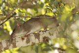 Brown Rat (Rattus Norvegicus) on a Tree