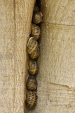 Snails In a Crack In Tree Trunk