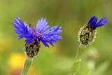 Syrian Cornflower-thistle Flowers