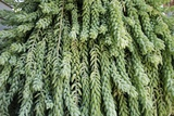Burro's Tail Foliage