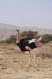 Ostrich In a Nature Reserve