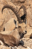 Nubian Ibex And Tristram's Starling