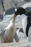 Gentoo Penguin Feeding Chick
