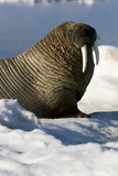 Atlantic Walrus