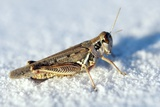 Desert Locust  on White Gypsum
