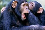 Chimpanzees Grooming
