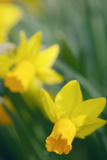 Yellow Trumpet Daffodil (Narcissus Sp)
