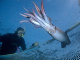 Diver Catching a Humboldt Squid