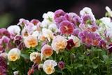 Viola 'Light Strawberry Sundae'