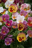 Viola 'Light Strawberry Sundae'