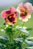 Pansies (Viola X Wittrockiana)
