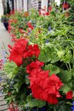 Geranium Flowers (Pelargonium Sp)