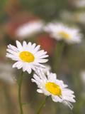 Shasta Daisies (Leucanthemum X Superbum)