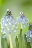 Grape Hyacinths (Muscari Aucheri)