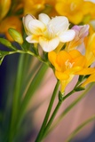 Freesia Sp