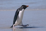 Western Rockhopper Penguin