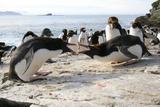 Macaroni Penguin Breeding Display