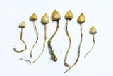 Magic Mushrooms (Psilocybe Semilanceata)