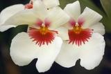 Orchid (Miltonia Sp)