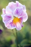 Pansy (Viola X Wittrockiana)