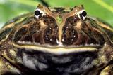 Argentinian Horned Frog
