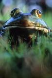 The North American Bullfrog  Rana Catesbeiana