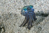 Bobtail Squid on the Seabed