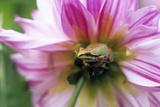Pacific Treefrog on a Dahlia Flower