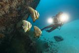 Tallfin Batfish (Platax Teira)
