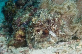 Camouflaged Reef Octopus