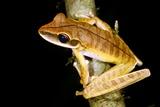 Basin Treefrog