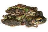 Buckley Bonehead Frogs Mating