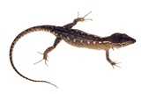 Spectacled Lizard