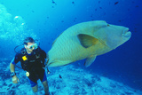 Napoleon Wrasse And Diver