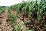 Sugar Cane Crop