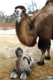 Camel And Colt