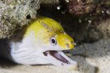Young Undulate Moray Eel