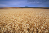 Field of Wheat  Triticum Sp