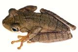 Slender-legged Treefrog