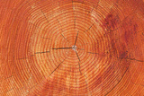 Growth Rings of a Scots Pine Tree