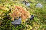 Peat Moss (Sphagnum Sp)
