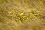 Corn Marigolds (Chrysanthemum Segetum)
