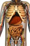 Internal Torso Anatomy  Artwork