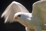 Albino Common Kestrel