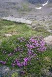 Moss Campion (Silene Acaulis Cenisia)