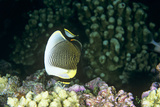 Angelfish Feeding